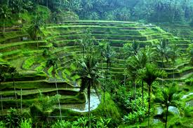 Ubud Bali nature rice field