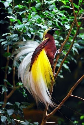 sb cenderawasih1 Lesser bird of paradise (Paradisaea minor)