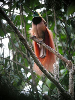 sb cenderawasih2 Raggiana bird of paradise (Paradisaea Raggiana)