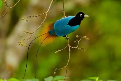sb cenderawasih4 Blue bird of paradise (Paradisaea rudolphi)