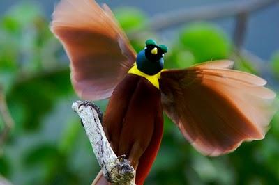sb cenderawasih6 Red bird of paradise (Paradisaea rubra)