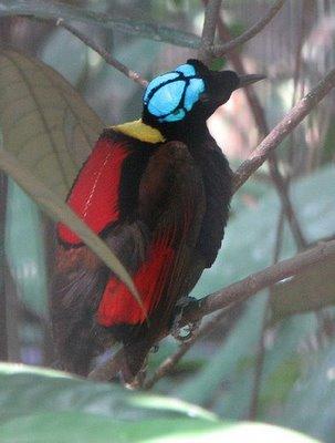 sb cenderawasih9 Wilsons Bird of Paradise (Cicinnurus respublica)
