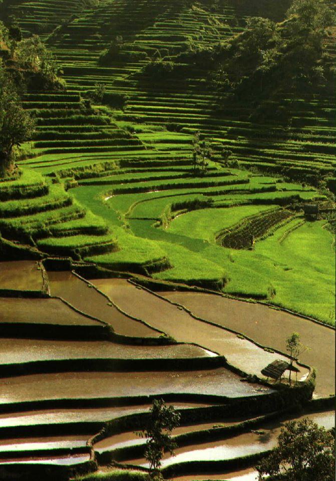 Bali View rice field